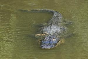 An alligator swims in a culvert near the